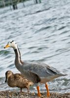 chiemsee duck by Squadz2000