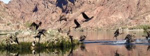 Cormorants Exiting by ClymberPaddler