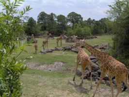 More Giraffes by Geak-of-Nature