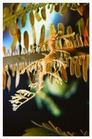 Seahorse by Captain-Planet