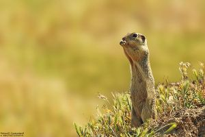 Spermophilus citellus by RichardConstantinoff