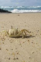 Kingscliff Crab by ChezDesignz
