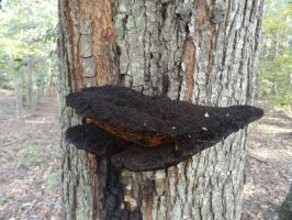 Black Tree Fungi Stock 2 by stormymay888