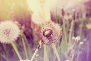 dandelion on fire. by katymattie
