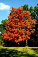 Autumn Maple by KEArnold