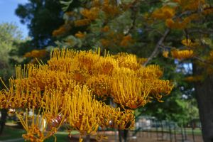 Beautiful Grevillea by MatureContntFilterOn