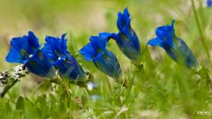 Gentians by rdalpes