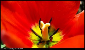 Heart of the coral tulip by TortueBulle