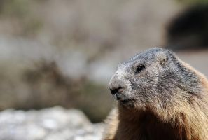 Marmotte by Free-JacK