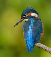 A glint in her eye - common kingfisher by Jamie-MacArthur
