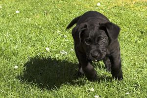 Labrador Puppy Running by rainey06au