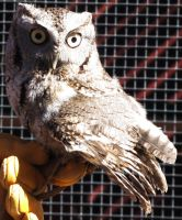 Eastern Screech Owl 2 by alekitty86f