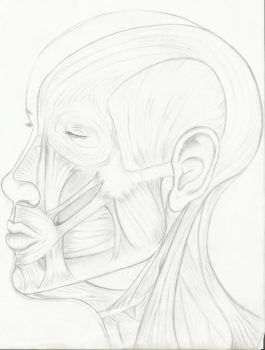 facial muscles by onesmileaday
