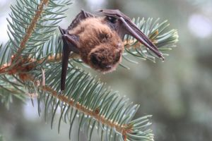 Little Brown Bat by TheSandvich