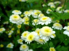 white flowers by valerie2776