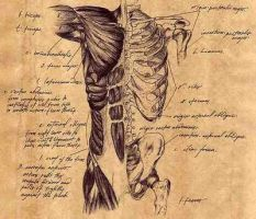 Anatomical Study - Torso by crackheadbarbie