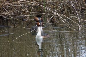 Grebes in Spring by organicvision