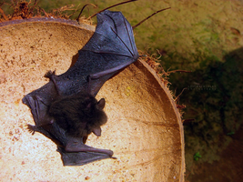 A Baby Bat. by monsterseverywhere