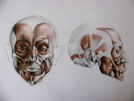 head muscles study by Infinitely