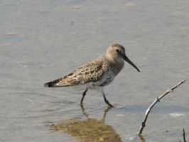 Curlew Sandpiper by faithless12