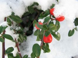 snow berry by Maxine190889