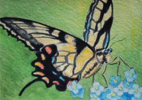 ATC Forget Me Not Swallowtail by waughtercolors