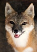 Swift Fox Handsome by Jack-13