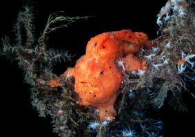 Frogfish by LazyDugong