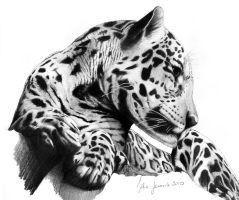 Panthera Onca by ebonita