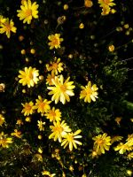 Yellow Flowers After Rain by naca0012