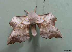 Hawk Moth by Estruda