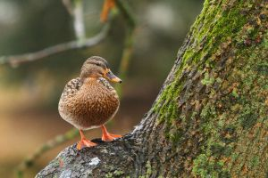 Mallard in a tree by janernn