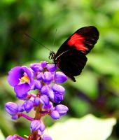 Heliconius Melpomene by TheSleepyRabbit