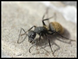 Ant by nithilien