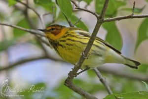 Cape May Warbler by mydigitalmind