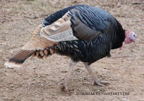 Meleagris gallopavo - Domestic turkey 5 by lumibear