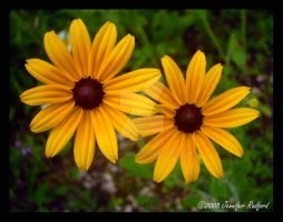 Brown-Eyed Susans by Jenna-Rose
