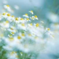 sea of camomile II by miezeTatze