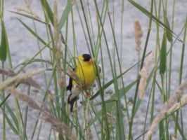 Gold Finch by spider69n77