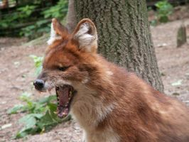 Asiatic Red Dog Dhole 1 by animalphotos