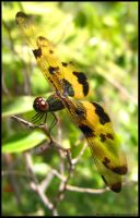 Dragonfly Macro by Chinsen