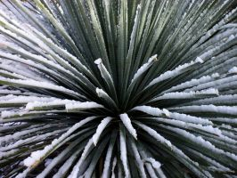 Snowy Agave by EuTytoAlba