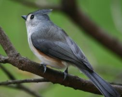 Tufted Titmouse by BirdyLee