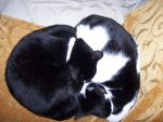 Yin Yang Cats by sadwonderland