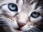 Blue-eyed kitten by DrCaruso