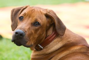 Young Rodesian Ridgeback - Puppy Portrait Stock by LuDa-Stock