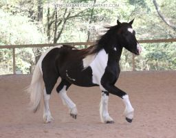 black and white gypsy vanner 1 by venomxbaby