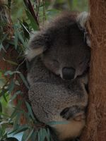 Sleeping Koala by HempHat