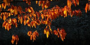 Flaming Cherry by EarthHart