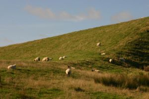 Whitby Sheep by FoxStox